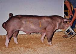 2004 Indiana State FairSpot Boar