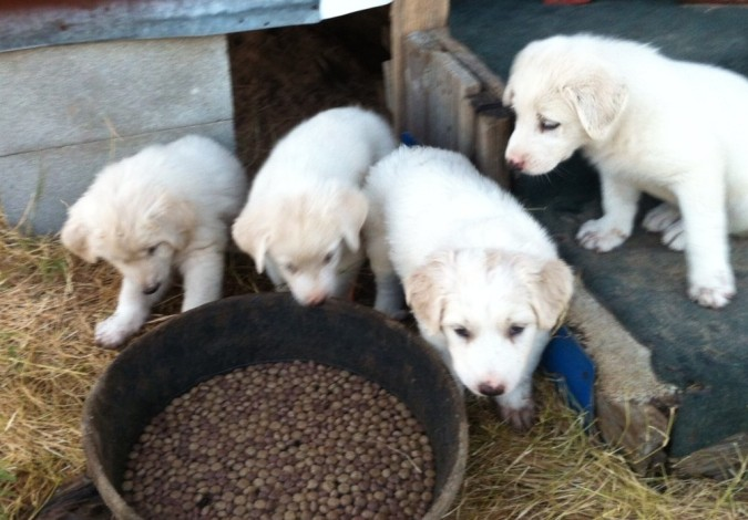 new litter of guard dogs