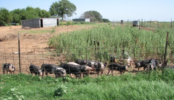weaned-pigs